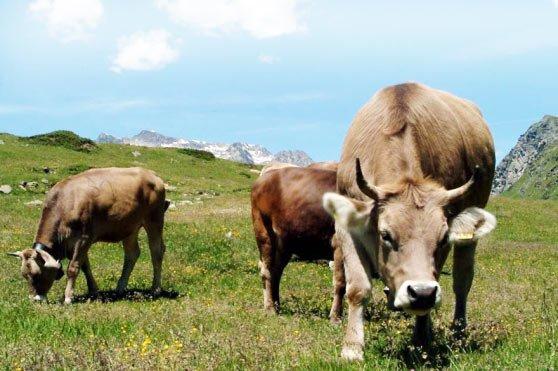 mucche-pascolo